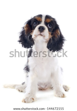 young tricolor cavalier king charles in front of white background - stock photo