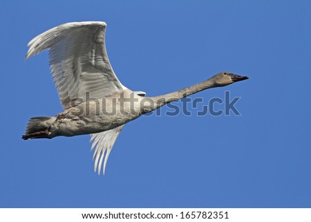 Young Trumpeter Swan - stock photo