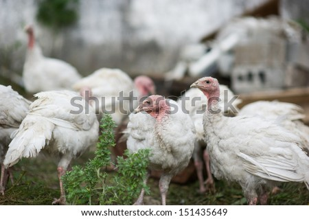 young turkeys on a farm