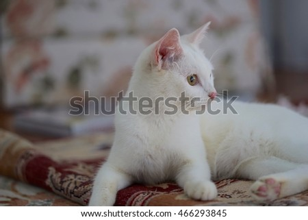 Young Turkish Angora breed cat
