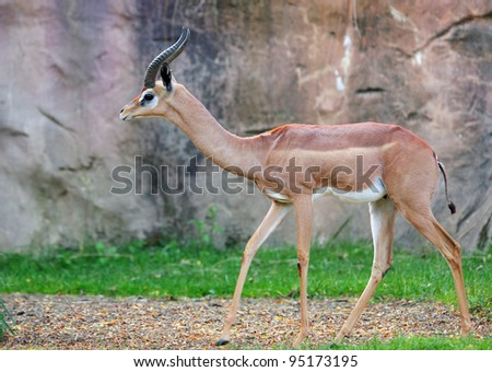Young two horned gazelle against a soft focus Stone background - stock photo