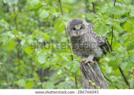 Young Ural owl on a trunk when raining. - stock photo