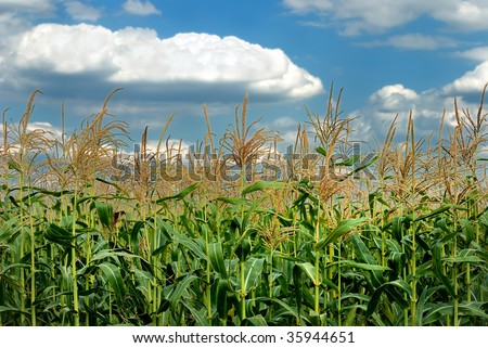 Young vegetation on a corn field against the sky - stock photo