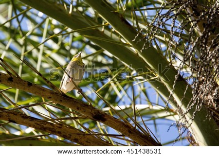 Young Village weaver bird (Ploceus cucullatus) perching high up in a palm tree in South Mauritius. - stock photo