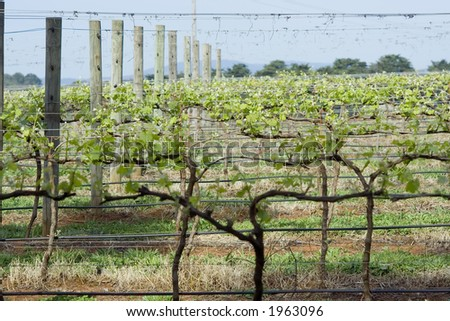 Young vines growing new season crop. Taken in the Yarra Valley region of Victoria, Australia. Focus on foreground vines. - stock photo