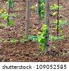 Young vineyard close-up - stock photo