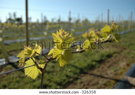 Young vineyard in Jersey, Channel Islands - stock photo