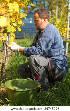 Young vintner is harvesting grape - stock photo