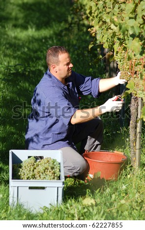 Young vintner is harvesting white grape in the vineyard by sunny weather