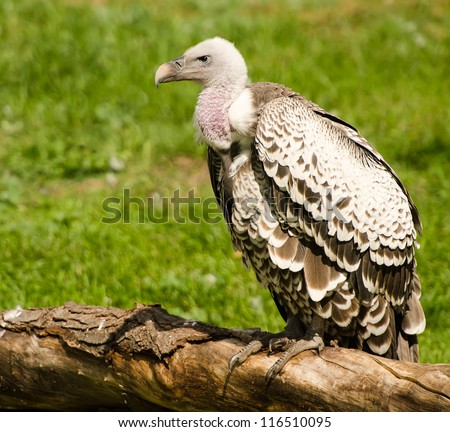 Young vulture sitting on a fallen tree - stock photo