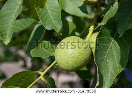 Young walnuts on the tree with green leafs - stock photo