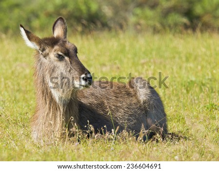 Young waterbuck lying and resting in the afternoon sun in some long grass - stock photo