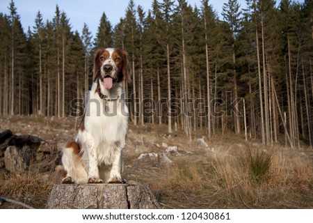 Young welshspringerspaniel - stock photo