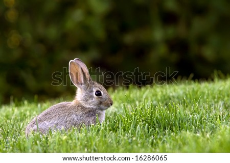 Young Western Brush Cottontail rabbit deep in grass forage. - stock photo