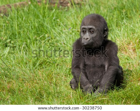 Young western lowland gorilla