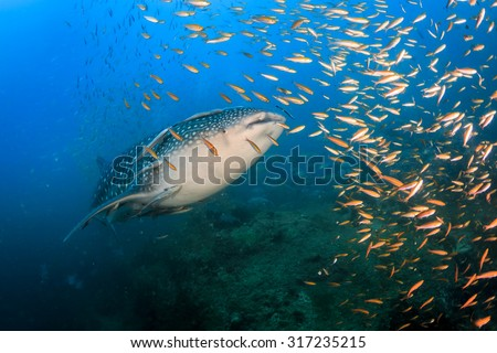 Young whale shark surrounded by fishes at Sail rock, Thailand - stock photo