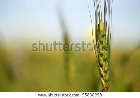Young Wheat - stock photo