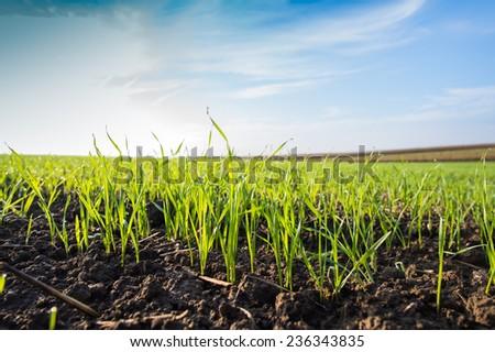Young wheat field in spring - stock photo