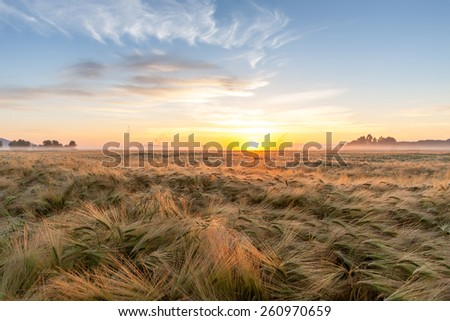 Young wheat growing in green farm field under blue sky on sunset  - stock photo