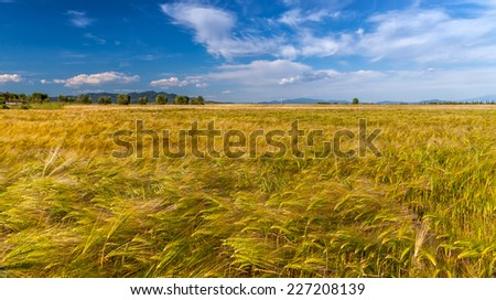 Young wheat growing in green farm field under cloudy blue sky - stock photo