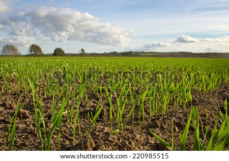 Young wheat growing on a field. - stock photo