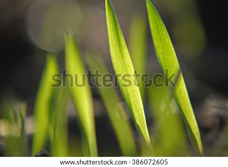 Young wheat on field  - stock photo