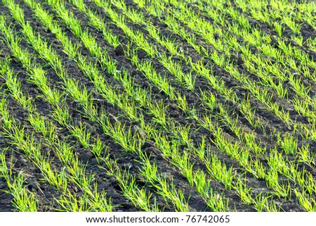 young wheat plants - stock photo