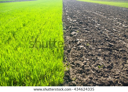 young wheat plants. Nature composition.