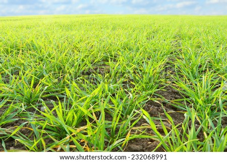 Young wheat seedlings growing in a soil. - stock photo