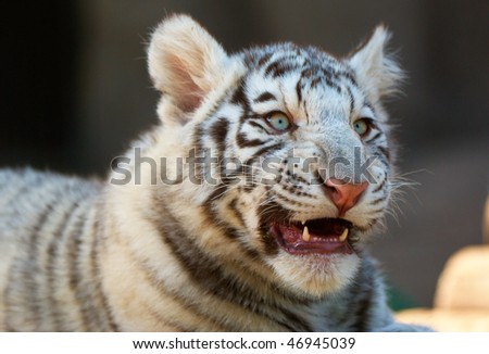 Young White Bengal Tiger in Moscow Zoo