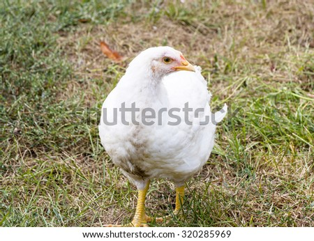 Young white chicken on a poultry farm