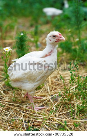 Young white chicken that is walking on green grass