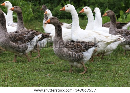 Young white geese grazing on pasture summertime - stock photo