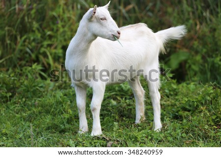 Young white goat eating grass in summer meadow - stock photo