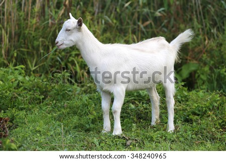 Young white goat eating grass in summer meadow