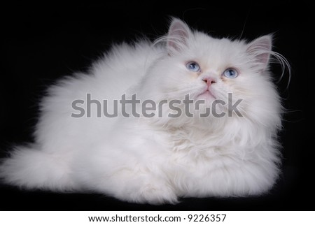 young white kitten isolated on black background - stock photo