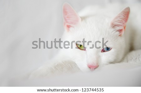young white kitten on a white background - pink ears and nose lazy - stock photo