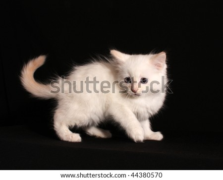 Young white kitten on black background
