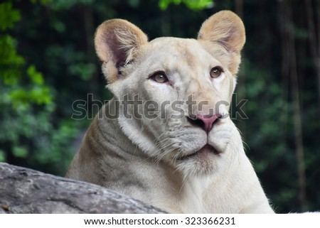 Young white lioness close up portrait in zoo environment - stock photo