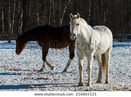 Young white mare stares into the camera lens on the background quietly walking bay mare. Moving rays low winter sun sets it in the snow, creating volumetric light and shadow pattern - stock photo