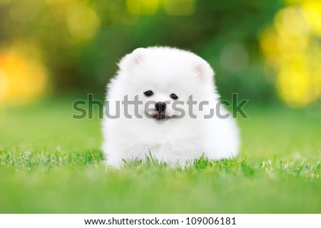 Young White Pomeranian puppy Spitz sitting in the grass look at the camera - stock photo