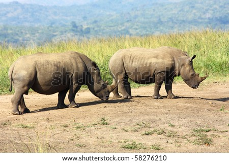 Young White Rhino at the Hluhluwe National Park in South Africa