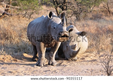 Young White Rhino in the early morning caught midway through a yawn. Taken in South Africa. - stock photo
