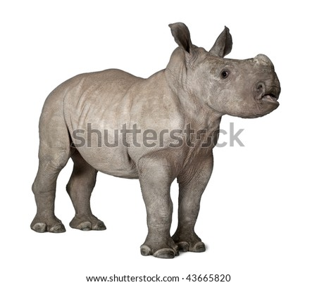 young White Rhinoceros or Square-lipped rhinoceros - Ceratotherium simum (2 months old) in front of a white background - stock photo