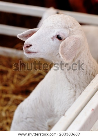 young white sheep lamb behind a white wooden fence waiting for friend to run and play - stock photo