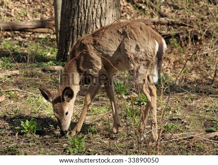 Young White-tail Deer