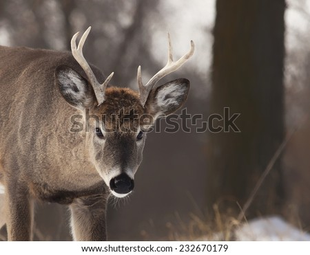 Young white-tailed deer buck, close up, looking at the camera. - stock photo