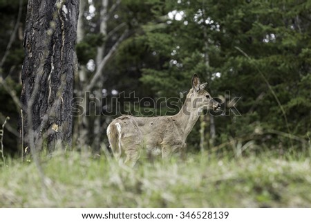 Young White-Tailed Deer in Meadow