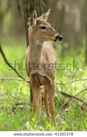 Young White-tailed Deer showing antler bud
