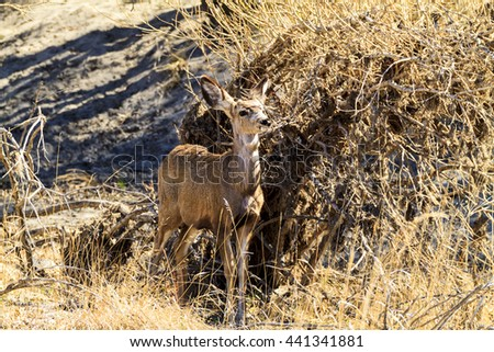 Young whitetail deer that has lost most of its fawn spots - stock photo